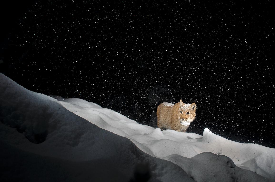 geslin lynx
