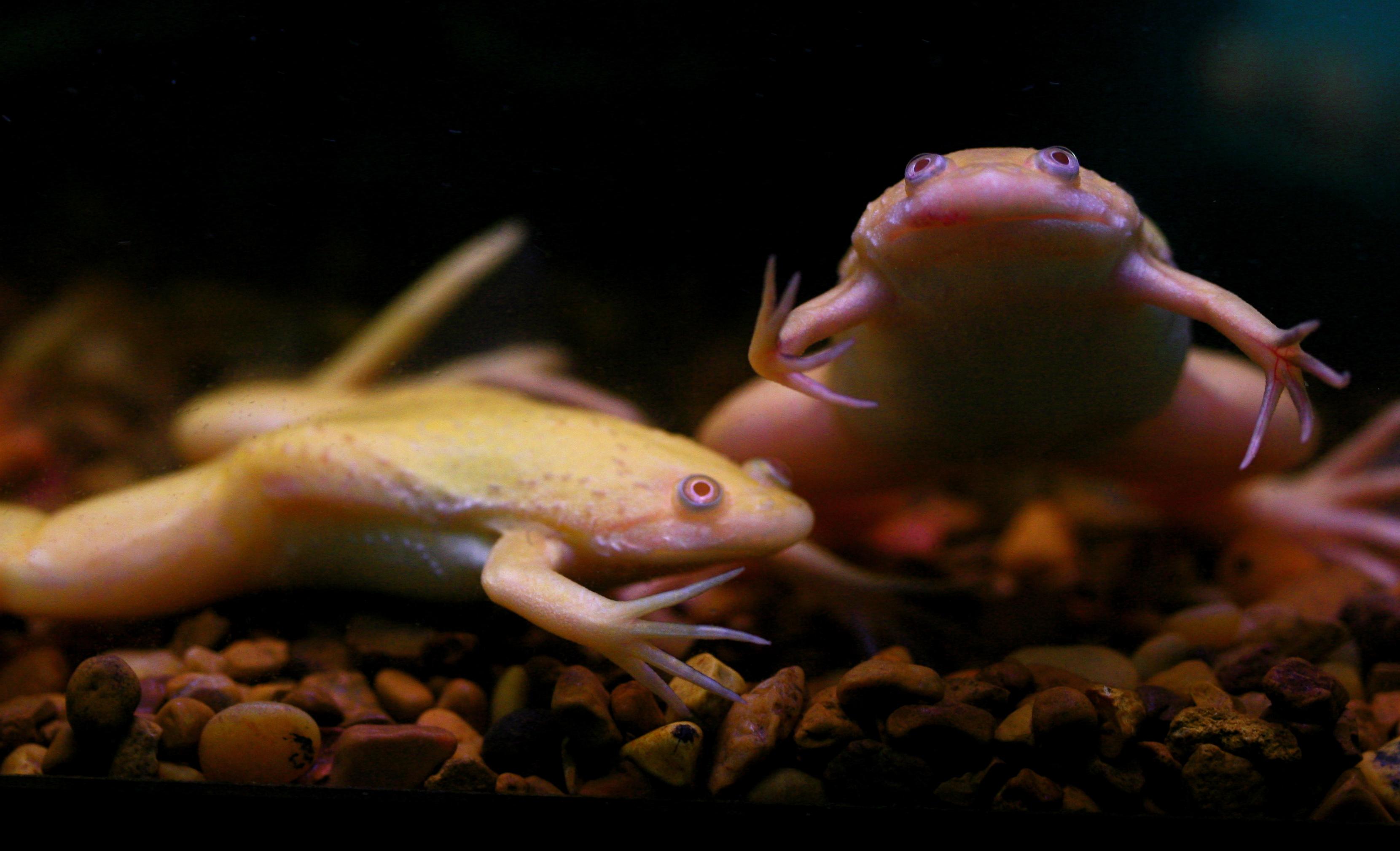 syngenta grenouille